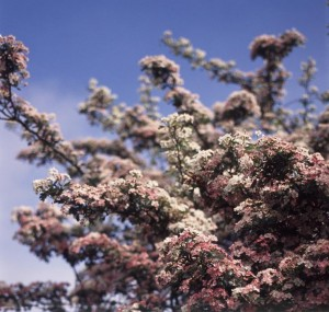 Tree covered in pink blossom signifying the spring season against a sunny blue sky